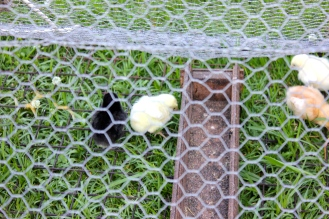 New chicks in their outdoor digs.