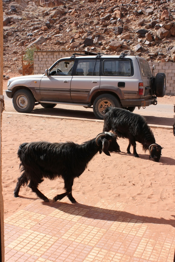 Goats in front of the office.