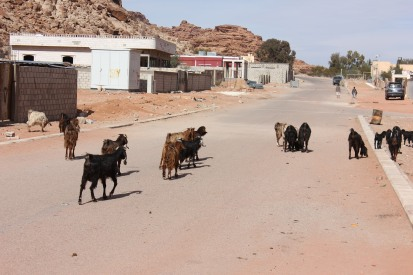 "Goats on ""Main Street"" Wadi Rum Village"